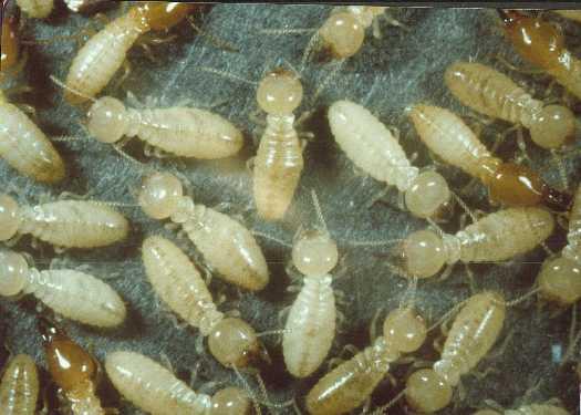 termites_main