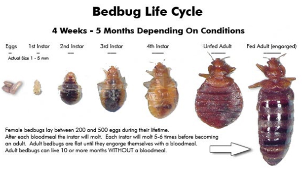 bedbugs-lifecycle