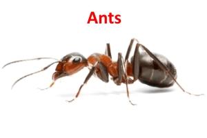 Ants Pest Control